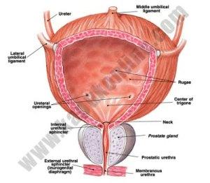 Obat Kista Prostat